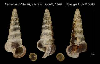 To NMNH Extant Collection (Cerithium (Potamis) sacratum Gould, 1849 Holotype USNM 5566)