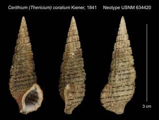 To NMNH Extant Collection (Cerithium (Thericium) coralium Kiener, 1841 Neotype USNM 634420)