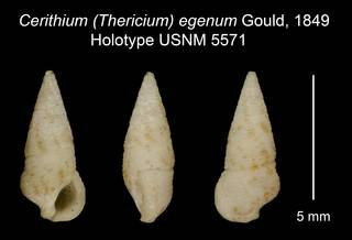 To NMNH Extant Collection (Cerithium (Thericium) egenum Gould, 1849 Holotype USNM 5571)