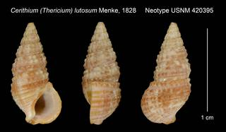 To NMNH Extant Collection (Cerithium (Thericium) lutosum Menke, 1828 Neotype USNM 420395)