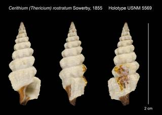 To NMNH Extant Collection (Cerithium (Thericium) rostratum Sowerby, 1855 Holotype USNM 5569)
