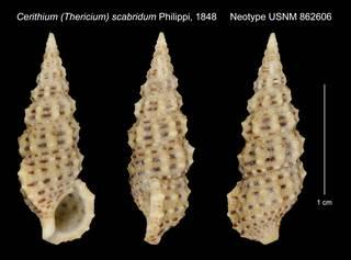 To NMNH Extant Collection (Cerithium (Thericium) scabridum Philippi, 1848 Neotype USNM 862606)