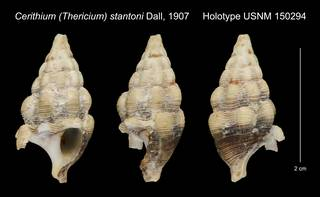 To NMNH Extant Collection (Cerithium (Thericium) stantoni Dall, 1907 Holotype USNM 150294)