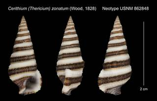 To NMNH Extant Collection (Cerithium (Thericium) zonatum (Wood, 1828) Neotype USNM 862848)