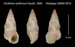 To NMNH Extant Collection (Cerithium ianthinum Gould, 1849 Holotype USNM 5573)