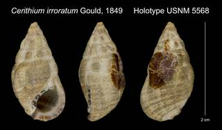 To NMNH Extant Collection (Cerithium irroratum Gould, 1849 Holotype USNM 5568)