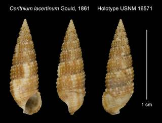 To NMNH Extant Collection (Cerithium lacertinum Gould, 1861 Holotype USNM 16571)