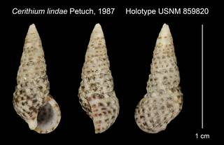 To NMNH Extant Collection (Cerithium lindae Petuch, 1987 Holotype USNM 859820)