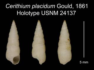 To NMNH Extant Collection (Cerithium placidum Gould, 1861 Holotype USNM 24137)