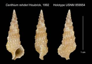 To NMNH Extant Collection (Cerithium rehderi Houbrick, 1992 Holotype USNM 859954)