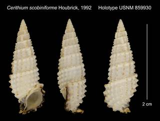 To NMNH Extant Collection (Cerithium scobiniforme Houbrick, 1992 Holotype USNM 859930)