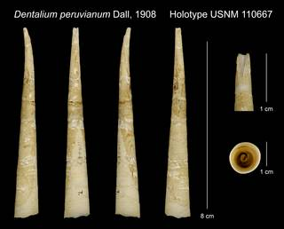 To NMNH Extant Collection (Dentalium peruvianum Dall, 1908 Holotype USNM 110667)