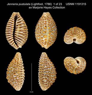 To NMNH Extant Collection (Jenneria pustulata (Lightfoot, 1786) USNM 1191315 ex Marjorie Hayes Collection)