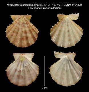 To NMNH Extant Collection (Mirapecten rastellum (Lamarck, 1819) USNM 1191229 ex Marjorie Hayes Collection)
