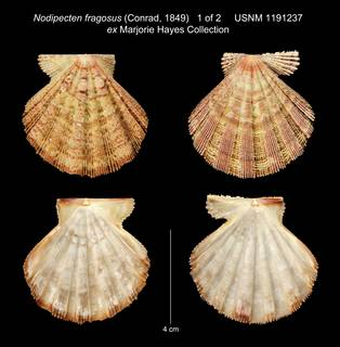 To NMNH Extant Collection (Nodipecten fragosus (Conrad, 1849) USNM 1191237 ex Marjorie Hayes Collection)
