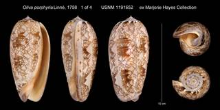 To NMNH Extant Collection (Oliva porphyria Linne, 1758 USNM 1191652 ex Marjorie Hayes Collection)