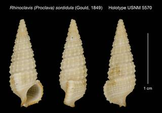To NMNH Extant Collection (Rhinoclavis (Proclava) sordidula (Gould, 1849) Holotype USNM 5570)