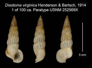 To NMNH Extant Collection (Diastoma virginica Henderson & Bartsch, 1914 1 of 100 ca. Paratype USNM 252569X)