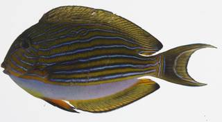 To NMNH Extant Collection (Acanthurus lineatus BUS 03-31 photograph lateral view)