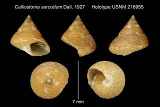 To NMNH Extant Collection (Calliostoma sarcodum Dall, 1927 Holotype USNM 216955)