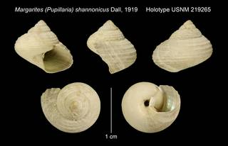 To NMNH Extant Collection (Margarites (Pupillaria) shannonicus Dall, 1919 Holotype USNM 219265)