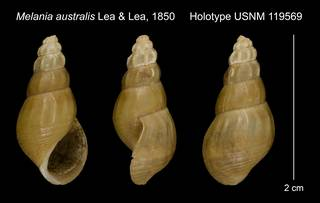 To NMNH Extant Collection (Melania australis Lea & Lea, 1850 Holotype USNM 119569)