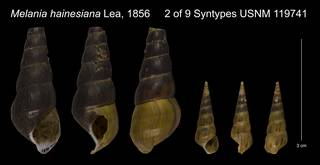 To NMNH Extant Collection (Melania hainesiana Lea, 1856 Syntype USNM 119741)