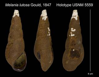 To NMNH Extant Collection (Melania lutosa Gould, 1847 Holotype USNM 5559)