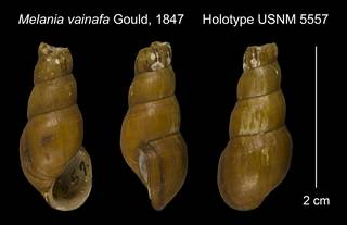 To NMNH Extant Collection (Melania vainafa Gould, 1847 Holotype USNM 5557)