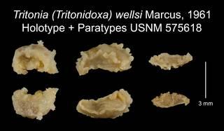 To NMNH Extant Collection (Tritonia (Tritonidoxa) wellsi Marcus, 1961 Holotype USNM 575618)