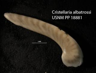 To NMNH Paleobiology Collection (Cristellaria albatrossi USNM 18881 holo a)