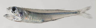 To NMNH Extant Collection (Atherinomorus stipes USNM 414660 photograph lateral view)