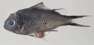 To NMNH Extant Collection (Chromis cyanea USNM 414501 photograph lateral view)
