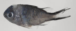 To NMNH Extant Collection (Chromis cyanea USNM 414500 photograph lateral view)