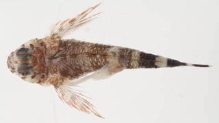 To NMNH Extant Collection (Enneanectes atrorus USNM 414493 photograph dorsal view)