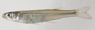 To NMNH Extant Collection (Atherinella USNM 414460 photograph lateral view)