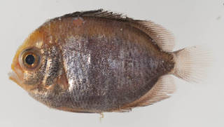 To NMNH Extant Collection (Centropyge argi USNM 414440 photograph lateral view)