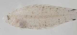 To NMNH Extant Collection (Symphurus ommaspilus USNM 414435 photograph lateral view)