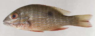 To NMNH Extant Collection (Lutjanus analis USNM 413602 photograph lateral view)