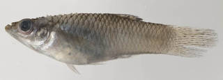 To NMNH Extant Collection (Fundulidae USNM 413433 photograph lateral view)