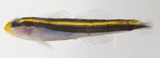 To NMNH Extant Collection (Elacatinus randalli USNM 413420 photograph lateral view)