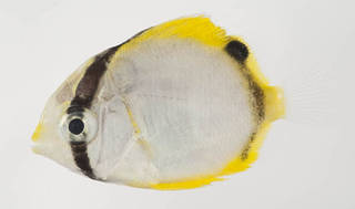 To NMNH Extant Collection (Chaetodon ocellatus USNM 413407 photograph lateral view)