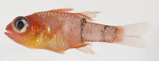 To NMNH Extant Collection (Apogon townsendi USNM 401890 photograph lateral view)