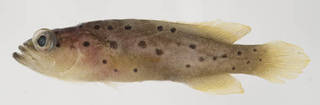 To NMNH Extant Collection (Rypticus carpenteri USNM 401043 photograph lateral view)