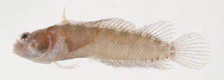 To NMNH Extant Collection (Starksia hassi USNM 399627 photograph lateral view)