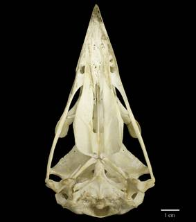 To NMNH Extant Collection (USNM292774 Haliaeetus albicilla ventral skull (2))