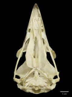 To NMNH Extant Collection (USNM292774 Haliaeetus albicilla ventral skull (3))