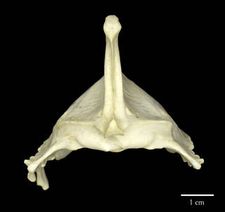 To NMNH Extant Collection (USNM560784 Haliaeetus leucogaster rostral sternum)