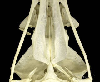 To NMNH Extant Collection (USNM560784 Haliaeetus leucogaster ventral skull  CUp)