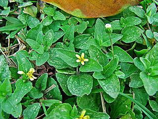 To NMNH Extant Collection (calyptocarpusvialis.jpg)
